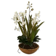 Moth Orchid Desk Top Plant in Pot