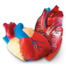 <strong>Learning Resources</strong> Cross-section Human Heart Model