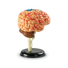 Model Brain Anatomy