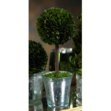 Boxwood Round Tapered Topiary in Pot (Set of 2)