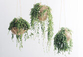 How to Care for Hanging Plants